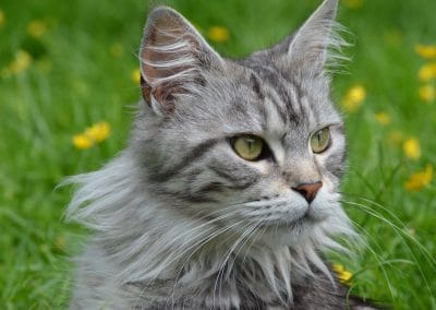 Krystal Star Coons,maine coons, raw feeding, holistic, cattery, homeopathy, nosodes