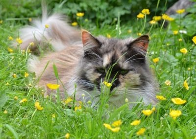 Kelferron, Krystal Star Coons,maine coons, raw feeding, holistic, cattery, homeopathy, nosodes